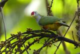 Beautifull Fruit-dove