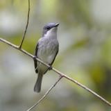 Biak Flycatcher - female
