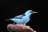 Blue Dacnis