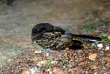 Unknown Nightjar - Pantanal