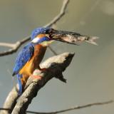 Eurasia Kingfisher