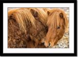 Cuddly Icelandic horses