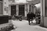 Cow in the street.jpg