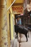 Hungry cow.jpg