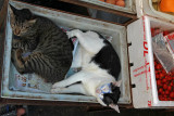 Cats on the market in Ayuthaya.jpg