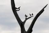 Tree Ducks (Black Bellied Whistling Ducks)