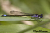 Ischnura elegans - Common Bluetail