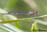 Enallagma cyathigerum - Common Bluet