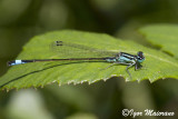Ischnura elegans - Common Bluetail