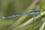 Erythromma lindenii - Blue-eye