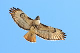 Red-tailed Hawk light morph