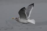 possible Vega Gull 2013