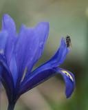 Mouche sur Iris