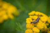 Dermaptères