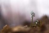 Puschkinia scilloides libanotica