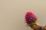 Fleur de Mélèze