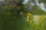 Herbe de Sainte-Barbe - Barbarea vulgaris