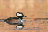 Harle couronné - Hooded merganser - Lophodytes cucullatus