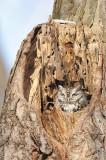 Petit-duc maculé - Eastern screech owl - Otus asio
