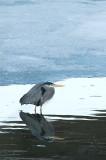 Grand héron - Great blue heron - Ardeas herodias