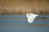 Grande aigrette - Great egret - Ardea alba