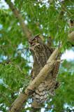 Grand-duc d'Amérique - Great horned owl - Bubo virginianus