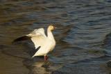 Oie des neiges - Snow goose - Chen caerulescens