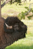 Bison - Buffalo - Bison bison