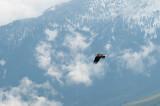 Pygargue à tête blanche - Bald eagle - Haliaeetus leucocephalus