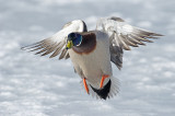 Canard colvert - Mallard - Anas platyrhynchos