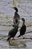 Oiseaux Côtiers
