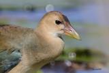 Oiseaux de marais & échassiers