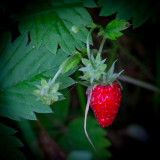 The Wild Strawberry