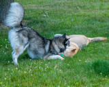 Dogs at Play, Again