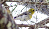 yellowthroated_vireo