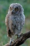 european owls