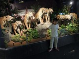 EIGHT stuff tigers at the Geneva Natural History Museum