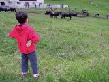 Swiss bull fighting.  They were still going at it the next day!