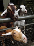 Central Park Petting Zoo goats