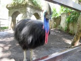 Here's that cassowary again!