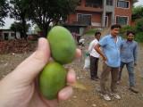 Mangos from tree