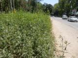 Pluck roadside marijauna