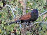 Lesser coucoul (juvenile)