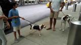 Bruno the beagle