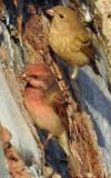 Common rosefinch