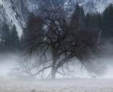 Elm tree in Cook's Meadow