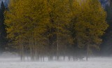 Cottonwoods in the morning mist
