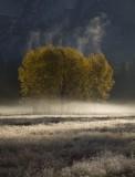 Cottonwoods in Ahwahnee Meadow