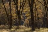 Black oaks