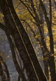 Black oaks in the evening light